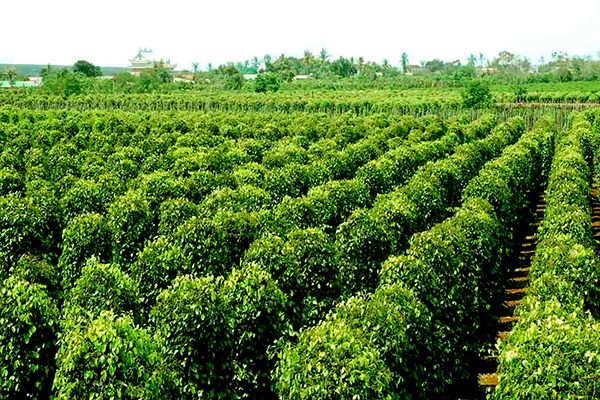 Vườn hồ tiêu Phú Quốc xanh tốt
