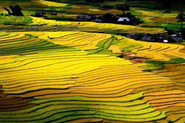 Sapa ngắm cánh đồng lúa chín